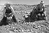 Mexican Laborers Pick Potatoes, 1943